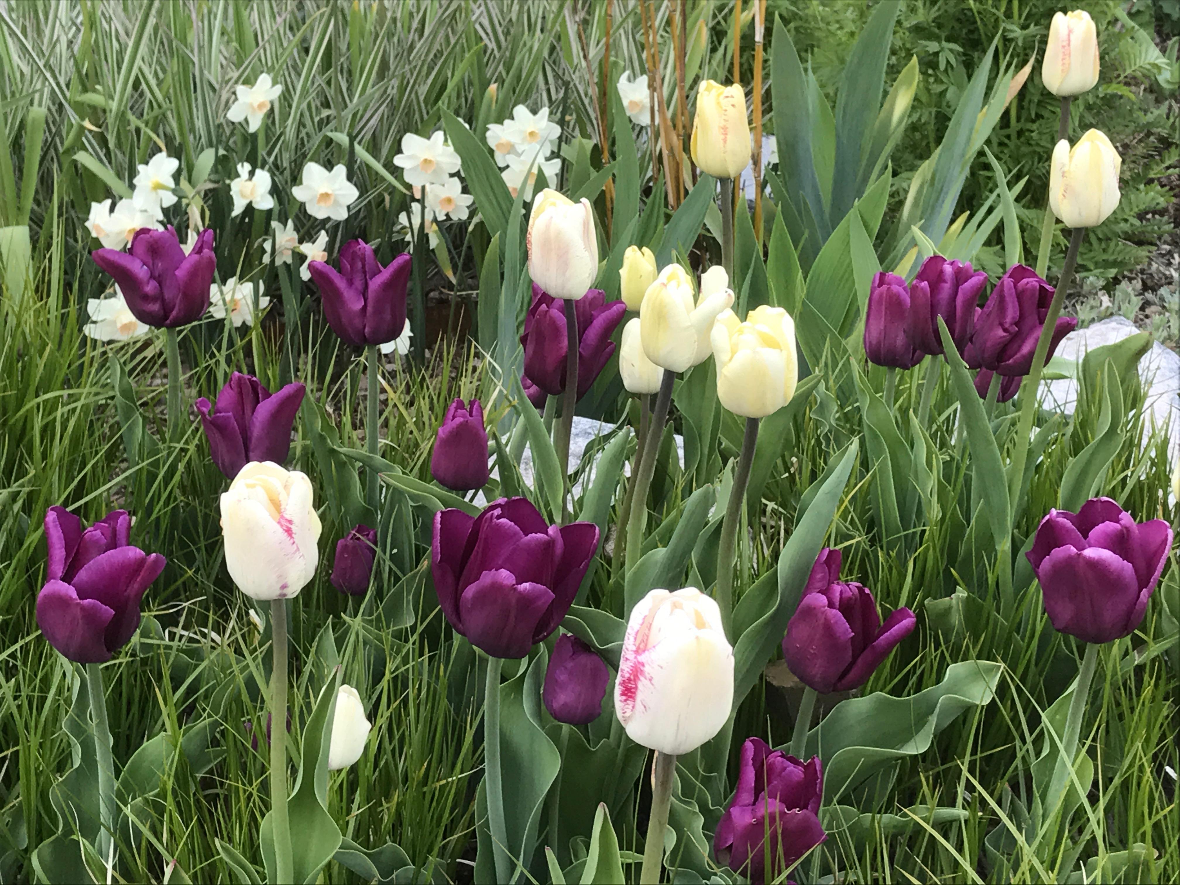Tulpaner i vitt och lila