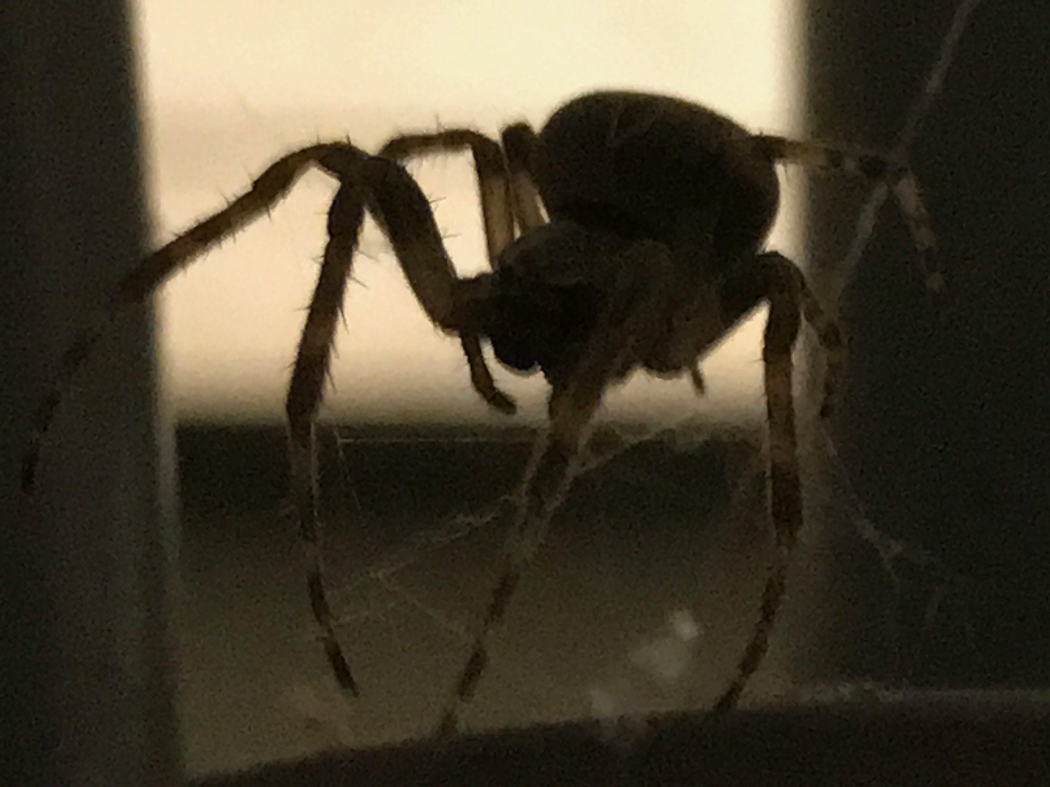 Spindel med lurviga ben
