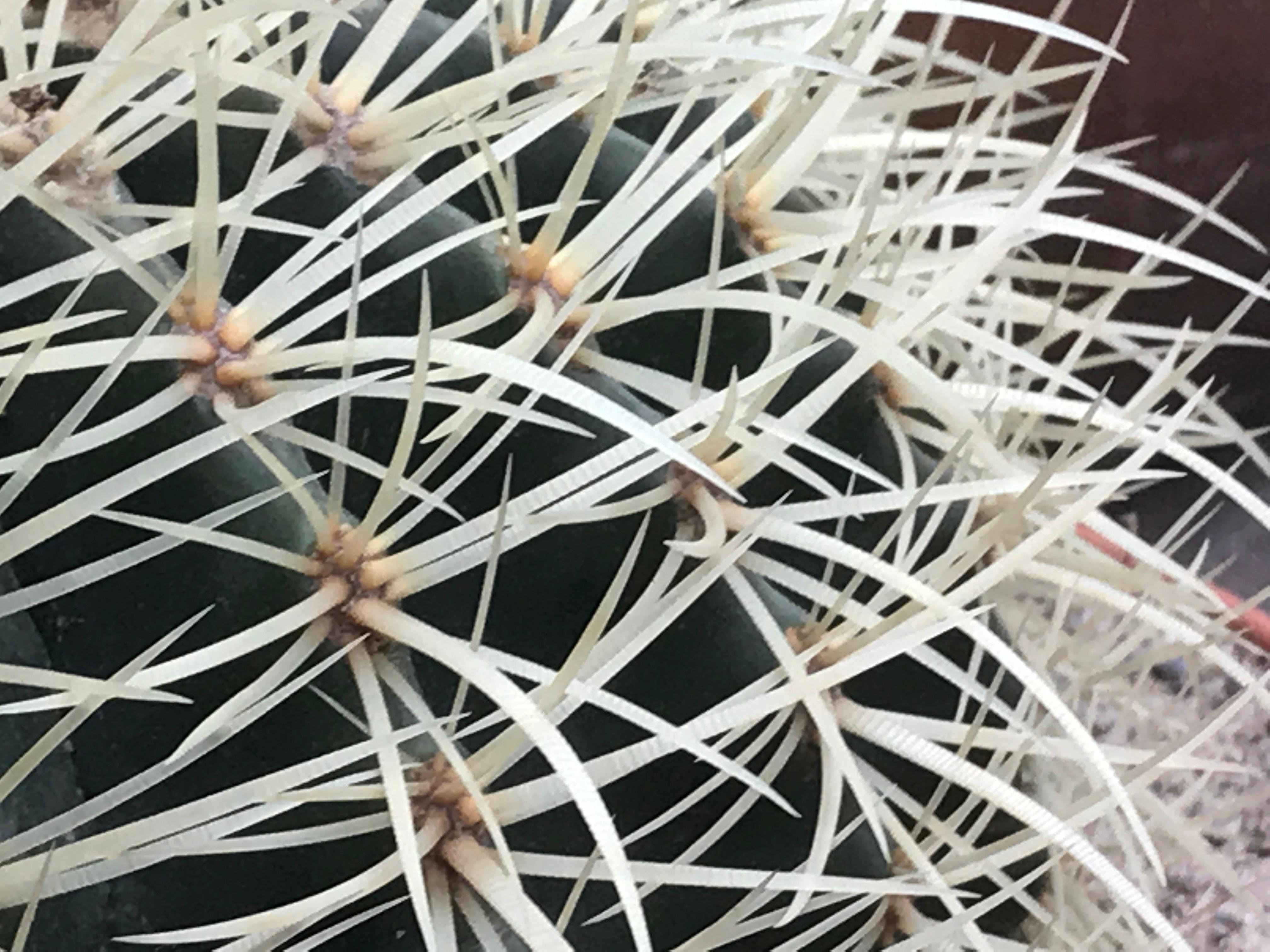 Närbild på kaktustaggar