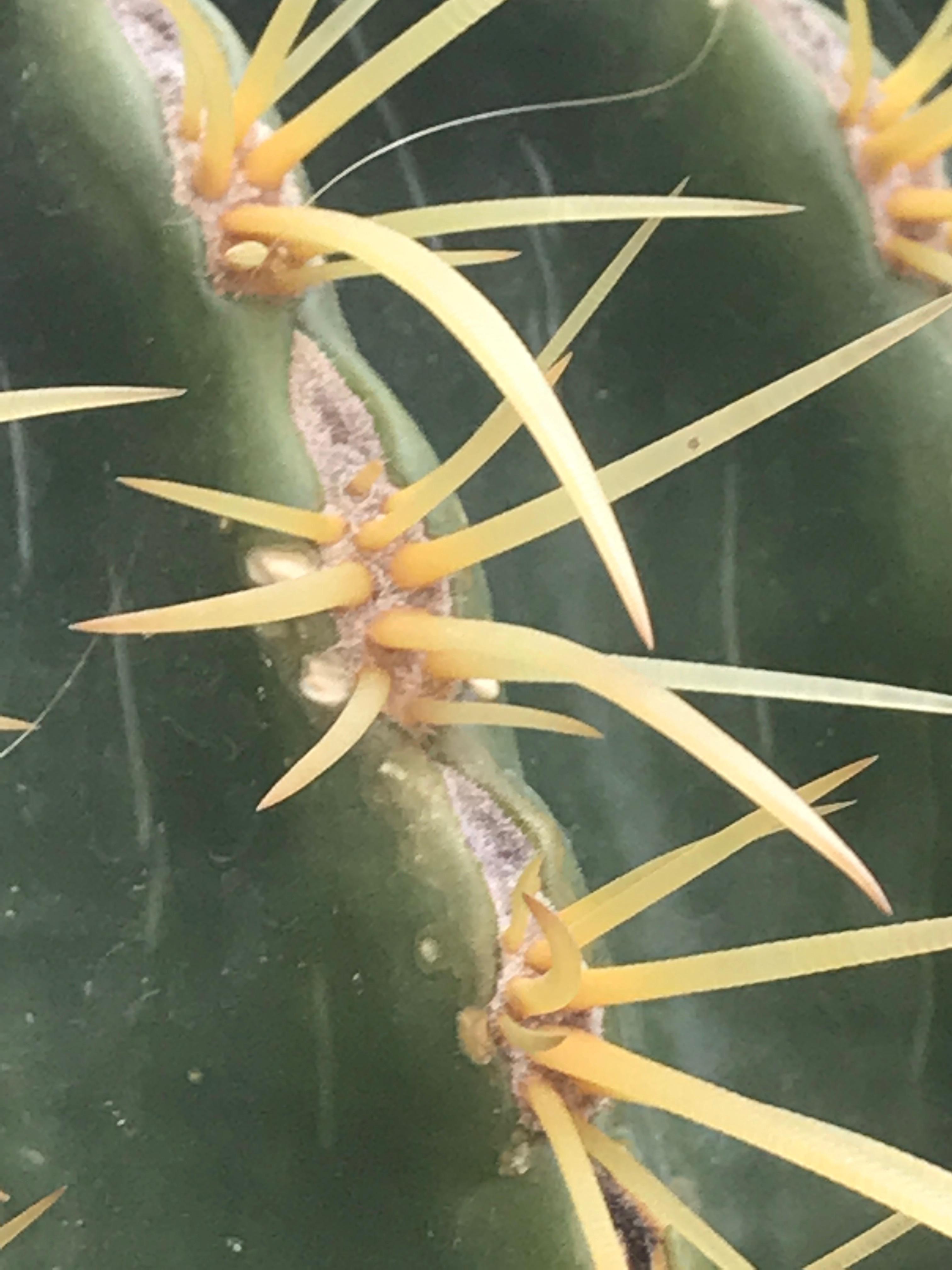 Kaktustaggar i närbild