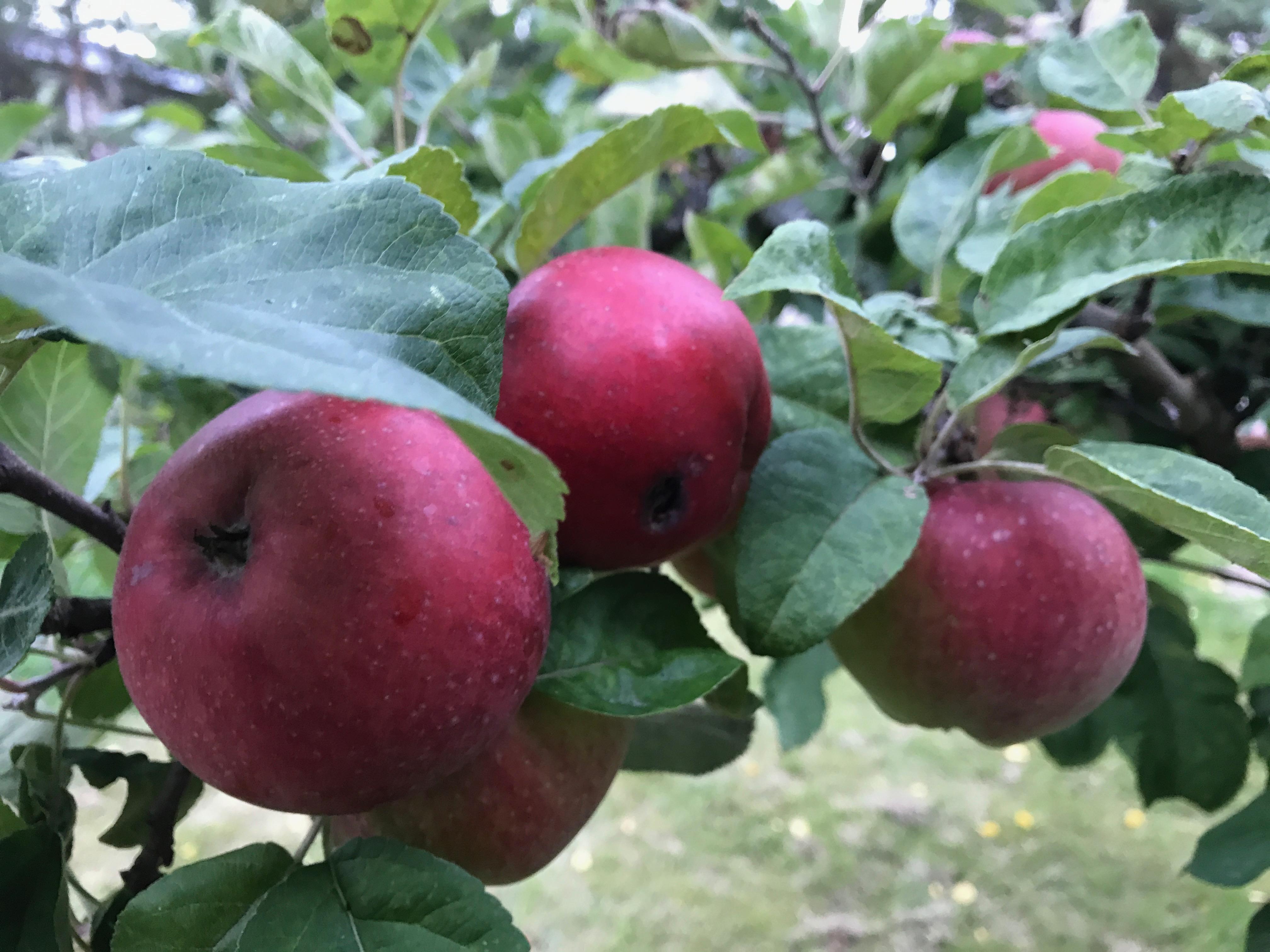 Röda äpplen på kvist